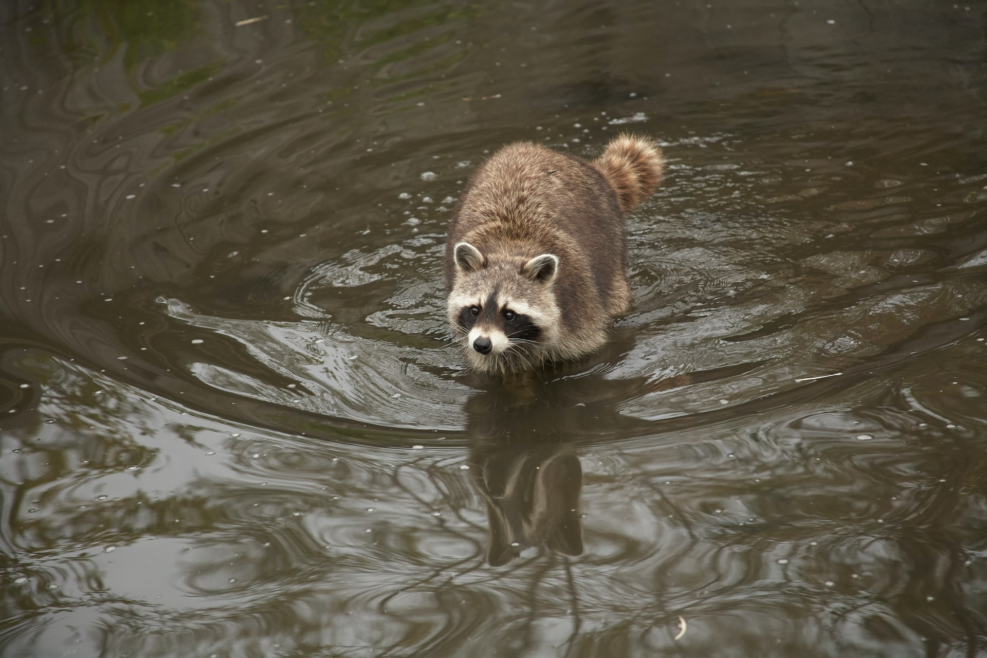Raccoon swimming in water makes crawlspace cleanup necessary